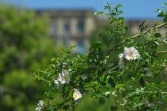 Beautiful wild rose bush blooming Royalty Free Stock Image