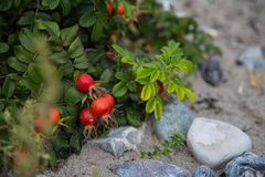 Beautiful wild rose fruits on a natural background Stock Photography