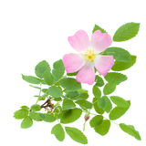 Beautiful Wild Rose and Green Leaves Royalty Free Stock Image