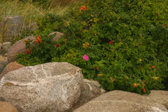 Beautiful wild rose on a natural background Stock Photography