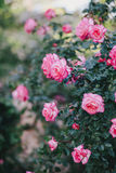 Beautiful wild roses in a sunny garden Stock Photos