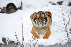 Beautiful wild siberian tiger Stock Photos