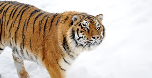 Beautiful wild siberian tiger Stock Images