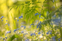 Beautiful wild small blue flowers and green plants with light bokeh in yellow sunlight. Abstract  blurred background Stock Image