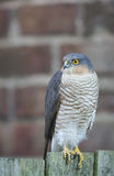 A beautiful, wild, Sparrowhawk, Accipiter nisus, perched on a garden fence looking around for its next meal. royalty free stock photography