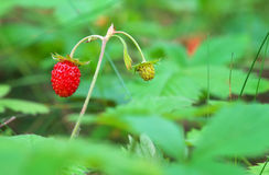 Beautiful wild strawberry berries Stock Photography