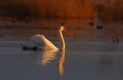 Beautiful wild swan Cygnus in warm sunset light Royalty Free Stock Photography