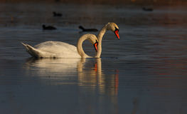 Beautiful wild swans Cygnus in warm sunset light Stock Images