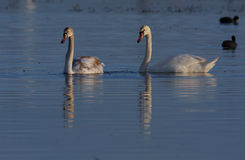 Beautiful wild swans Cygnus in warm sunset light Royalty Free Stock Photography