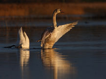 Beautiful wild swans Cygnus in warm sunset light Royalty Free Stock Images