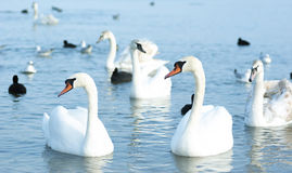 Beautiful wild swans, ducks and gulls float near the Black Sea c Royalty Free Stock Photo