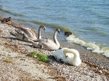 Beautiful wild swans near lake, Lithuania royalty free stock images