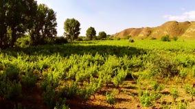 Beautiful wild vine aerial stock video footage