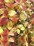 Beautiful Wild  Vines. Wild climbing vines in autumnal colors Royalty Free Stock Photo