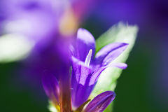 Beautiful wild violet bellflowers in a forest. Stock Photos