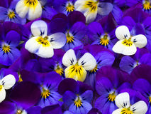 Beautiful wild violets Stock Images