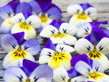 Beautiful wild violets Stock Image