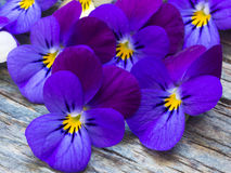 Beautiful wild violets. Creating amasing background, purple and yellow Royalty Free Stock Photography
