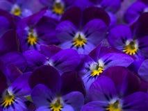 Beautiful wild violets Royalty Free Stock Photo
