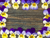 Beautiful wild violets Royalty Free Stock Images