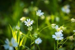 Beautiful wild white chickweed flowers Stock Photos