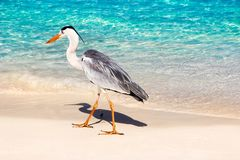 Beautiful wild white heron on a beautiful fantastic beach in the Maldive Islands against the blue clear water Royalty Free Stock Image