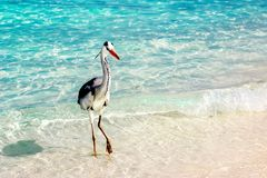 Beautiful wild white heron on a beautiful fantastic beach in the Maldive Islands against the blue clear water Royalty Free Stock Photography