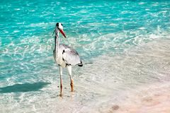 Beautiful wild white heron on a beautiful fantastic beach in the Maldive Islands against the blue clear water. Royalty Free Stock Photography