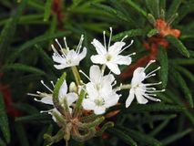 White wild flower with morning dew, Lithuania Royalty Free Stock Images