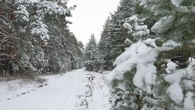 Beautiful wild winter forest Christmas tree in the snow nature scenery pine path. Beautiful wild winter forest Christmas tree in snow nature scenery pine path stock footage