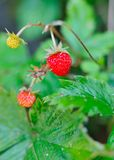 Beautiful wild wood strawberries bush Royalty Free Stock Images