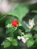 Beautiful wild wood strawberries bush Stock Photos