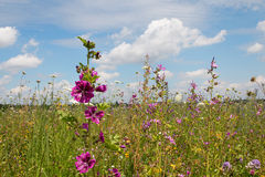 Beautiful wildflower meadow with high mallows. Pink malva sylvestris. Blue sky with clouds Stock Image