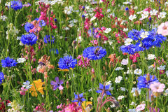 Beautiful wildflower meadow Royalty Free Stock Photos