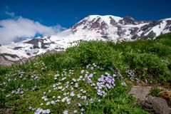 Beautiful wildflowers and Mount Rainier, Washington state royalty free stock photo