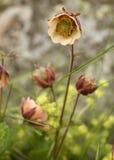 Beautiful wildflowers. Nodding Avens wildflower in a field near Reykjavik Iceland Stock Images