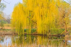 Beautiful willow bent branches to the lake. Change of season, spring royalty free stock photo
