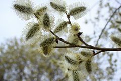 Beautiful willow branch with fluffy catkins. Stock Images