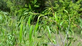 Beautiful willow branch with fresh light green lush foliage stock video