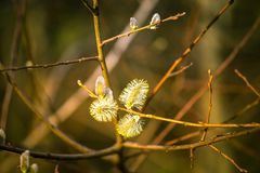 Beautiful willow tree blossoms in spring Royalty Free Stock Photo