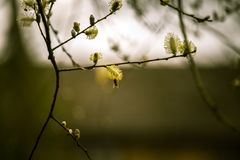 Beautiful willow tree blossoms in spring Royalty Free Stock Image