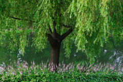 Beautiful willow tree and flowers near to a lake Royalty Free Stock Photos