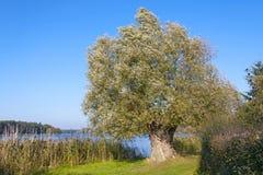 Beautiful Willow Tree Stock Image