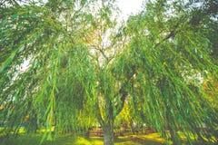 Beautiful willow tree stock photo