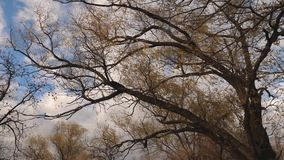 Beautiful willow tree with yellowed foliage on a background of autumn blue sky with clouds. Slow motion. park in the. Beautiful willow tree with yellowed foliage stock footage