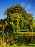 Beautiful willow trees Stock Images