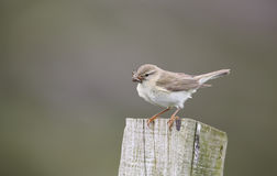 A beautiful Willow Warbler, Phylloscopus trochilus, perched on a post with a beak full of insects for its babies. Royalty Free Stock Photography