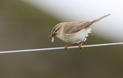 A beautiful Willow Warbler, Phylloscopus trochilus, perched on a wire with a beak full of insects for its babies. Royalty Free Stock Photo