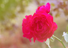 Beautiful wine colored rose in sweet tone Stock Photography