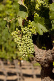 Beautiful wine grapes ripe for harvest Royalty Free Stock Images
